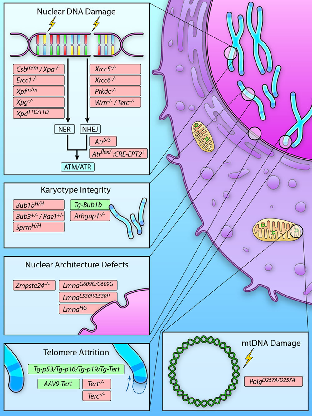 Mouse Models To Disentangle The Hallmarks Of Human Aging