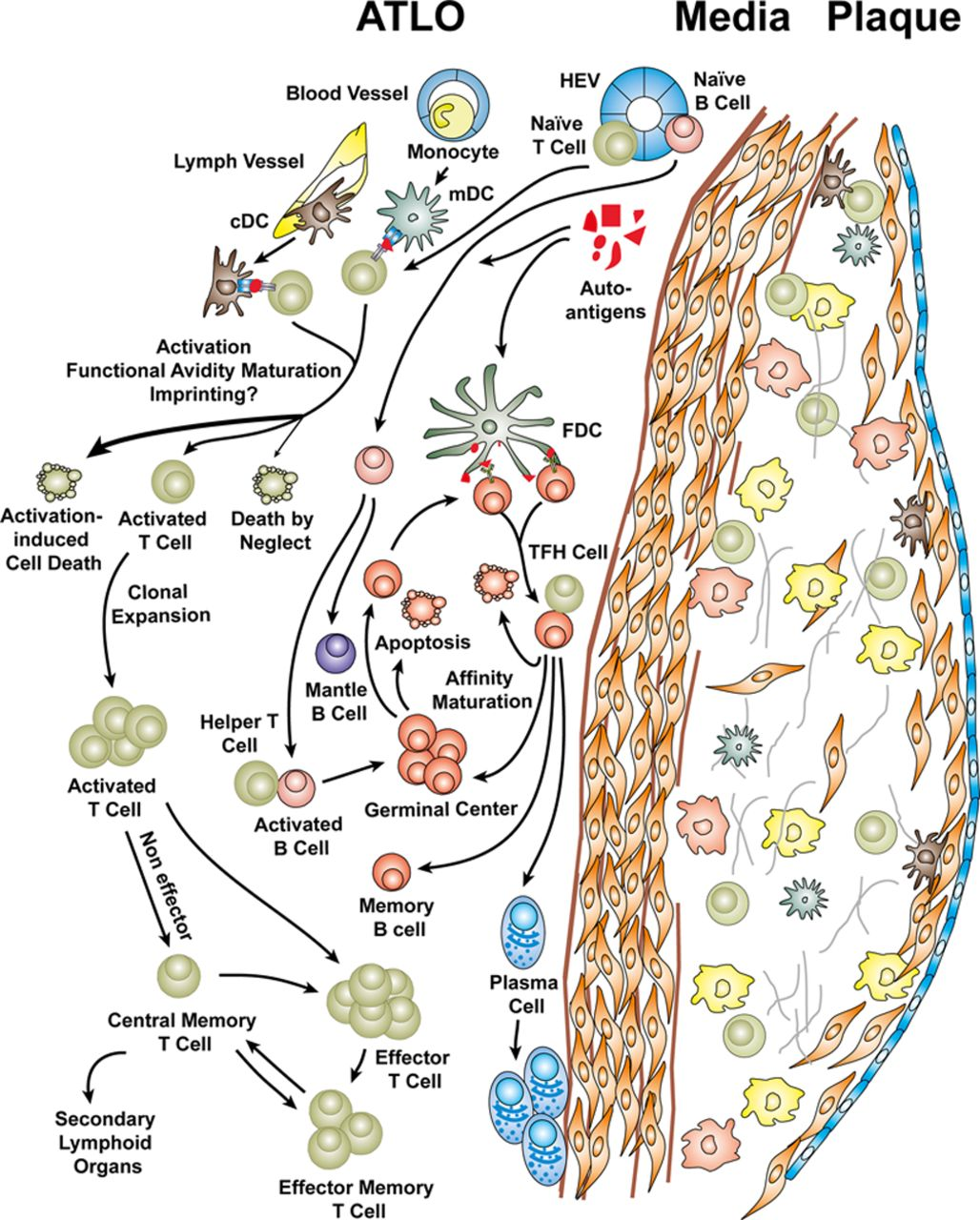 Artery Tertiary Lymphoid Organs Contribute To Innate And