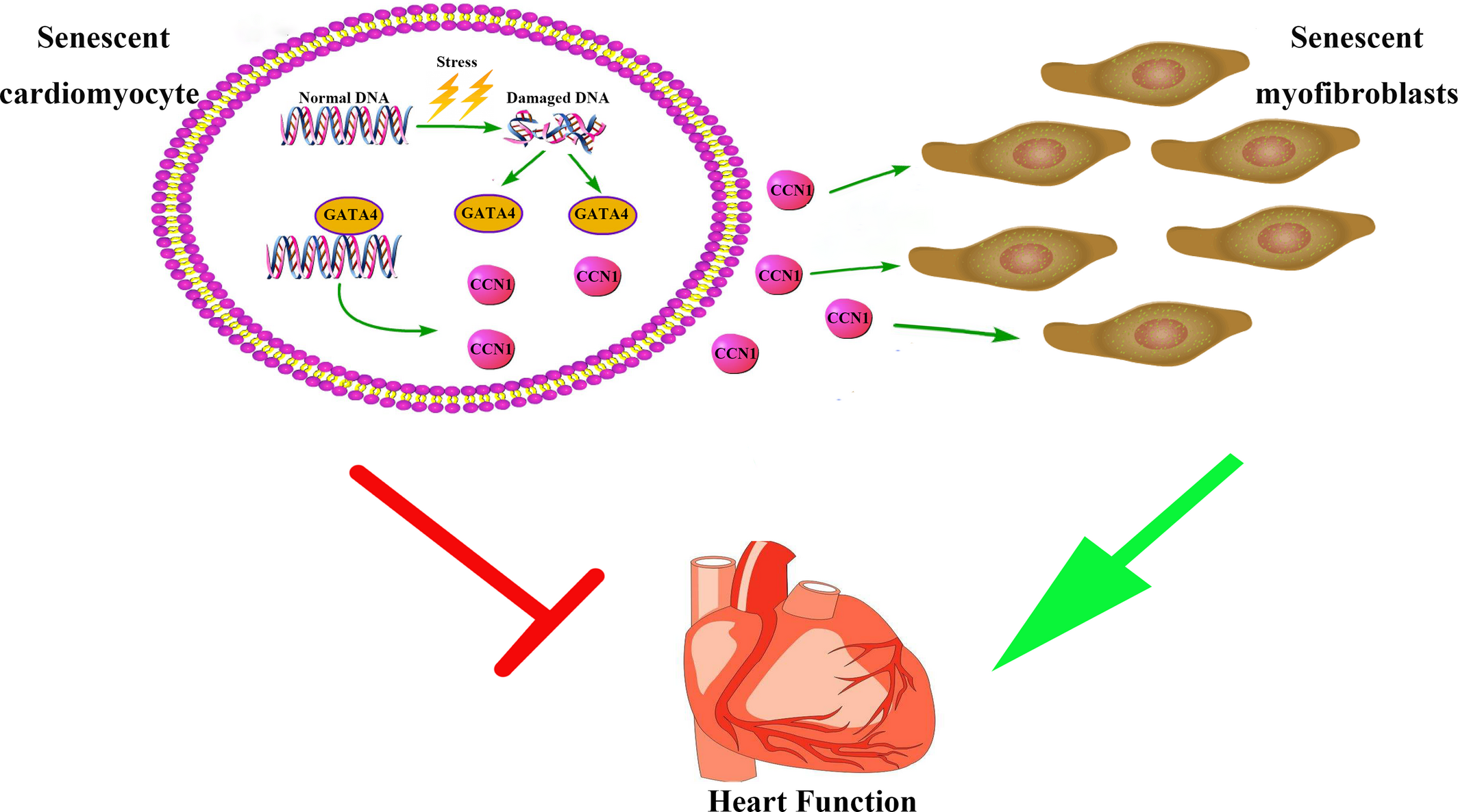 Postinfarction Hearts Are Protected By Premature Senescent