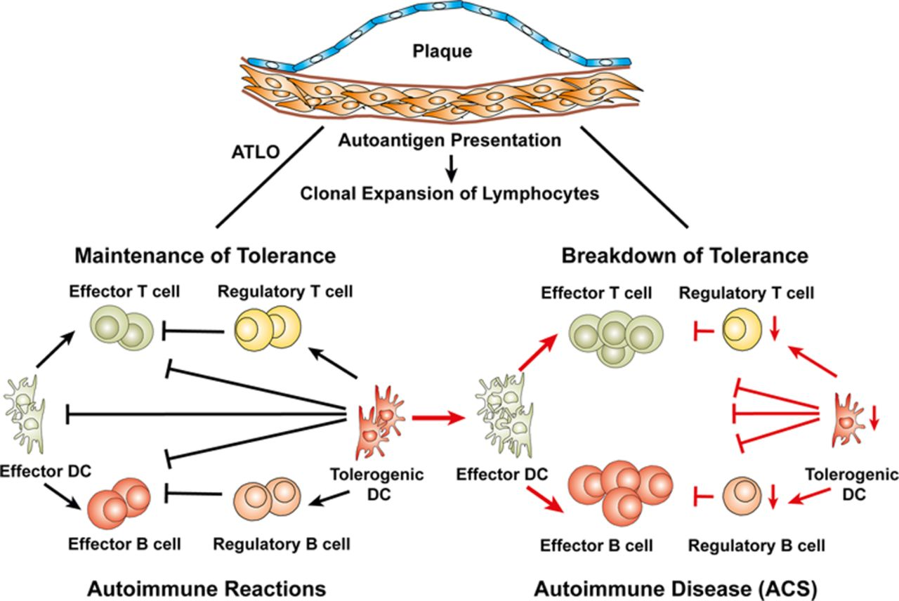 Artery Tertiary Lymphoid Organs Contribute to Innate and Adaptive Immune  Responses in Advanced Mouse Atherosclerosis | Circulation Research