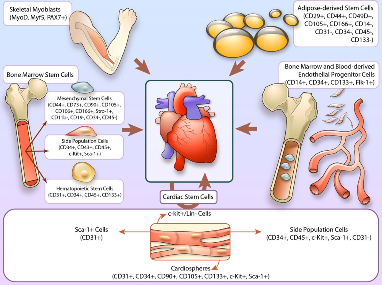 Cell Therapy For Heart Failure Circulation Research