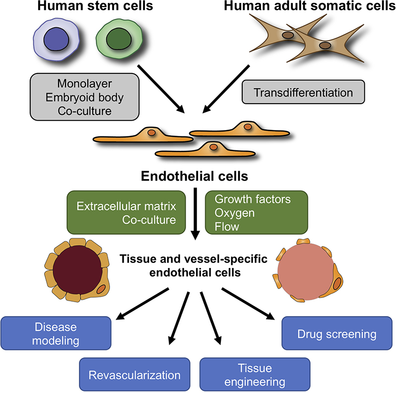 Generation Of Endothelial Cells From Human Pluripotent Stem Cells Arteriosclerosis Thrombosis And Vascular Biology
