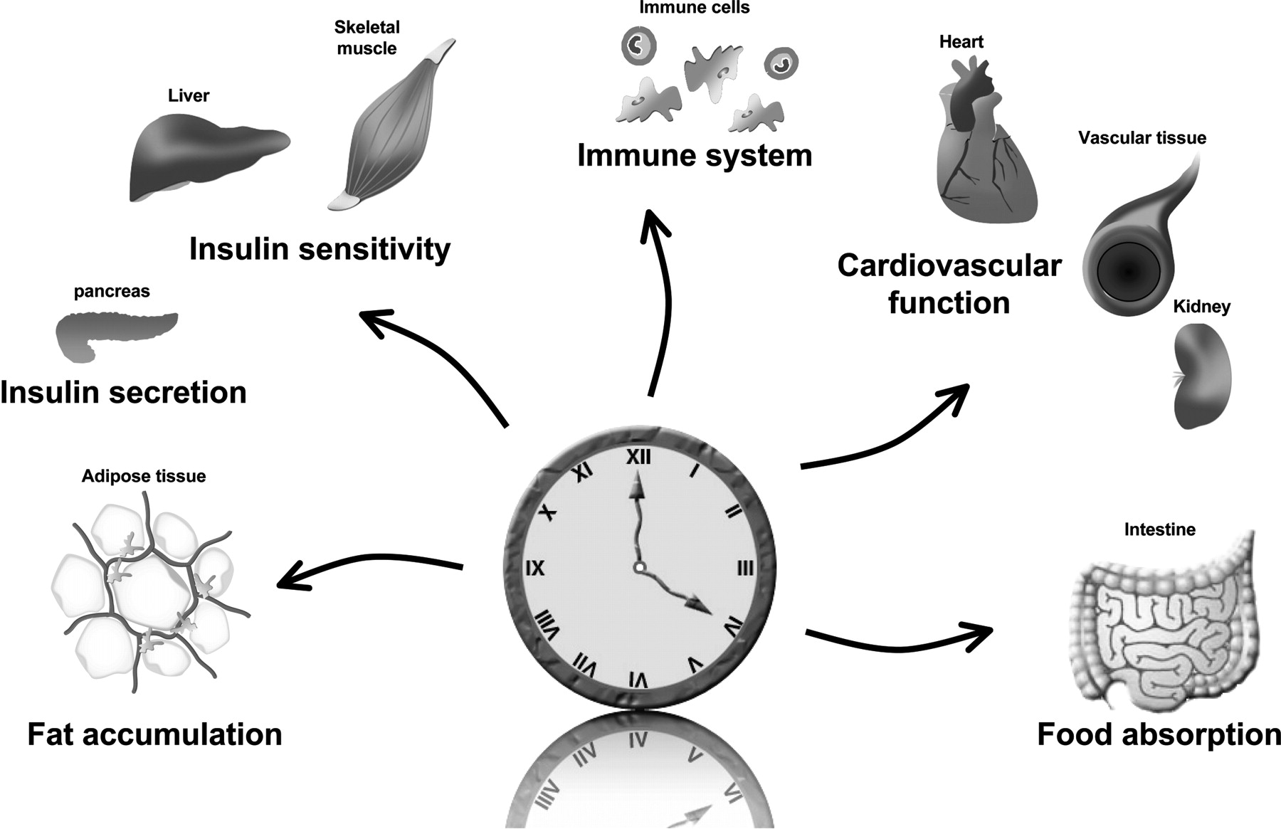 Circadian Rhythms and Metabolic Syndrome | Circulation Research