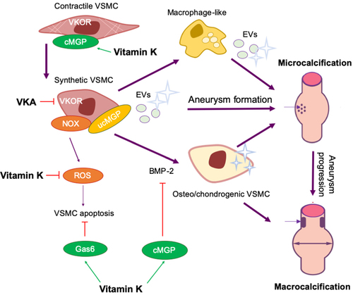 Role Of Vascular Smooth Muscle Cell Phenotypic Switching And