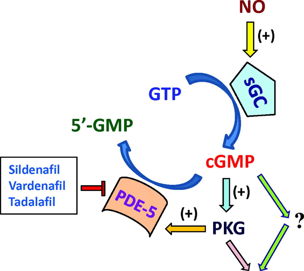Evidence for Pleiotropic Effects of Phosphodiesterase-5 (PDE5) Inhibitors: Emerging Concepts in Cancer and Cardiovascular Medicine | Circulation Research