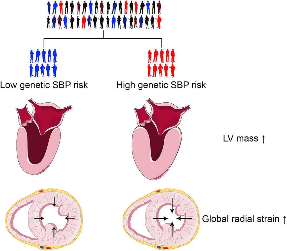 Effect Of Systolic Blood Pressure On Left Ventricular Structure
