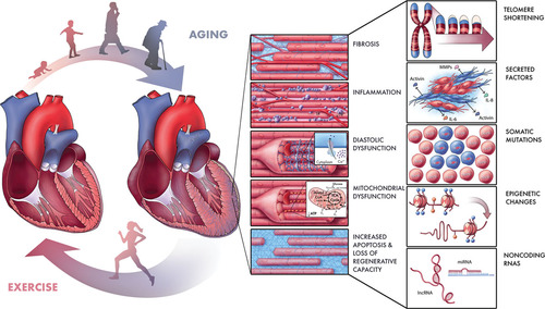 Targeting Age Related Pathways In Heart Failure Circulation Research