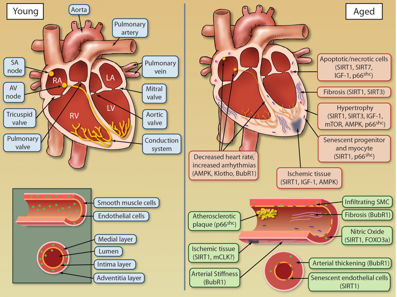 The Intersection Between Aging and Cardiovascular Disease ...