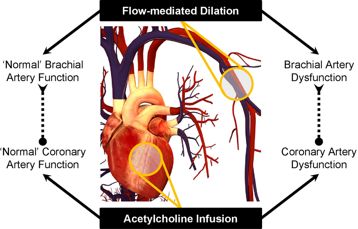 Strong Relationship Between Vascular Function in the ...