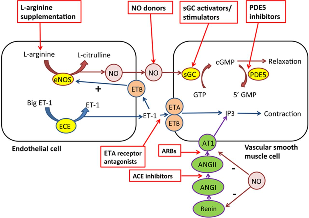 Potential Therapeutic Role Of Phosphodiesterase Type 5 Inhibition In Hypertension And Chronic Kidney Disease Hypertension
