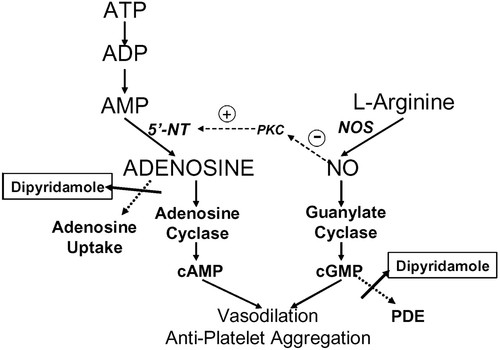 Role of Adenosine and Nitric Oxide on the Mechanisms of ...