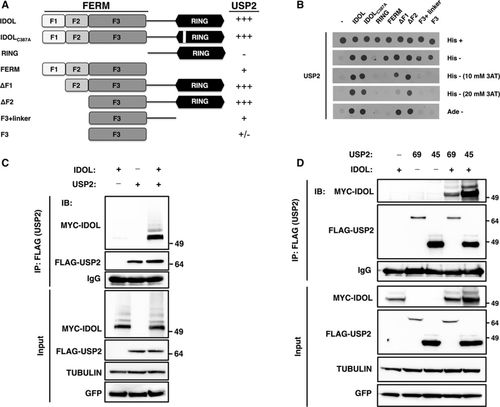 The Deubiquitylase USP2 Regulates the LDLR Pathway by Counteracting