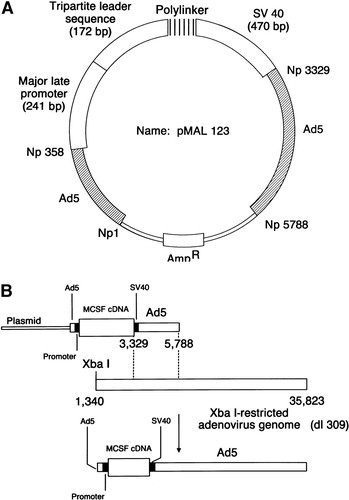 Adenovirus-Mediated Gene Transfer of Macrophage Colony