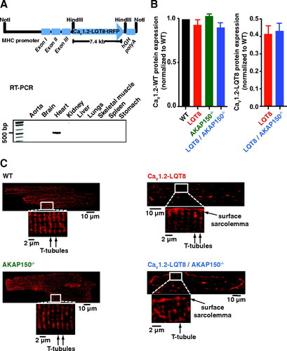 Restoration of Normal L-Type Ca2+ Channel Function During