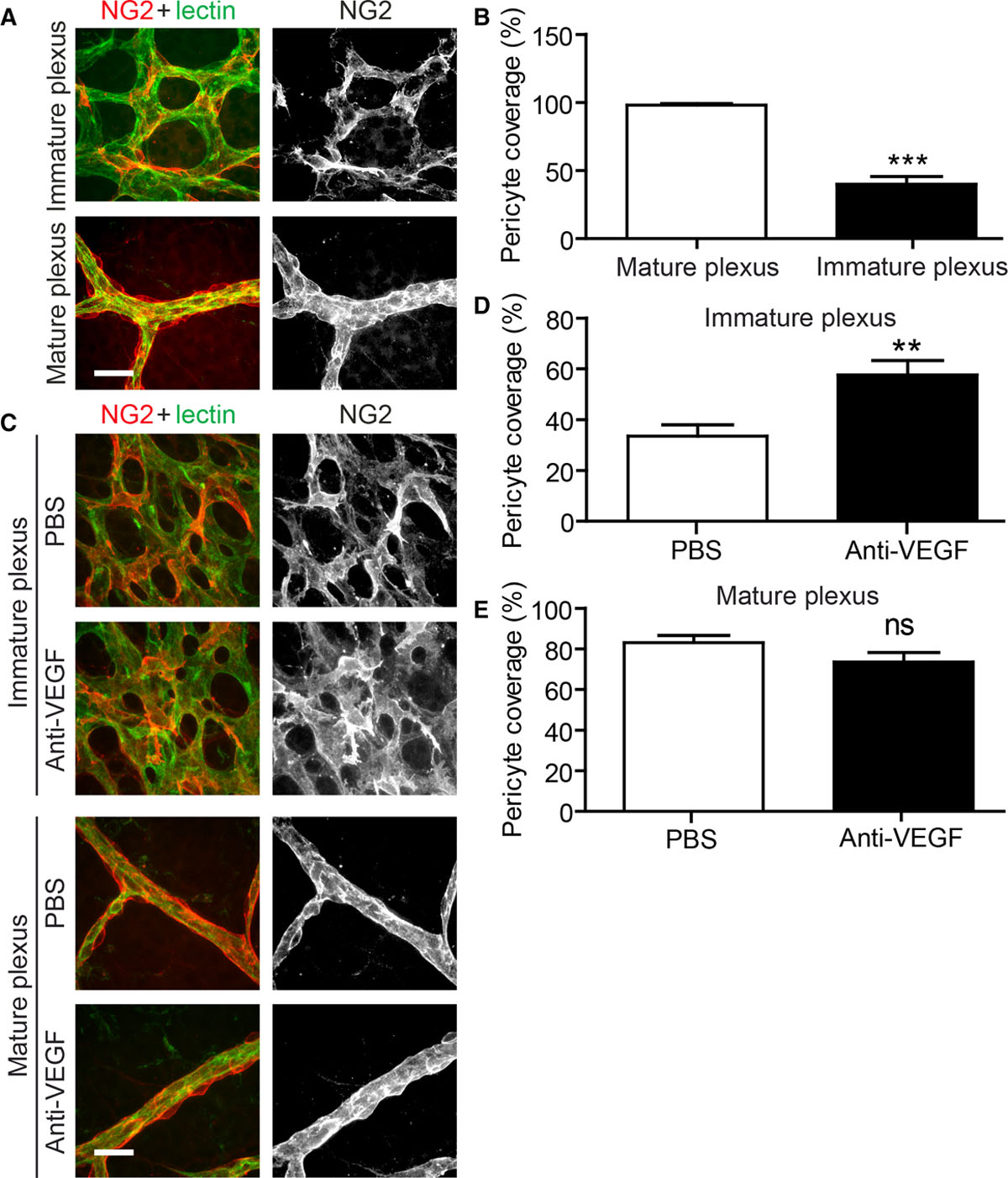 Weibel-Palade Bodies Orchestrate Pericytes During