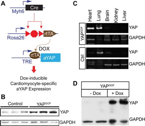 Cardiac-Specific YAP Activation Improves Cardiac Function and