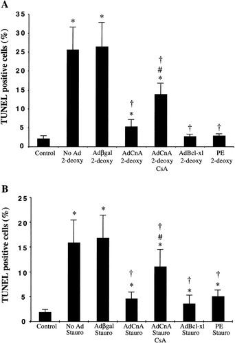 Calcineurin-Mediated Hypertrophy Protects Cardiomyocytes