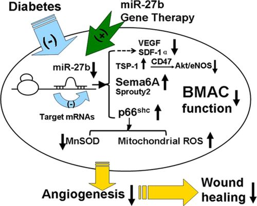 MicroRNA miR-27b Rescues Bone Marrow–Derived Angiogenic Cell