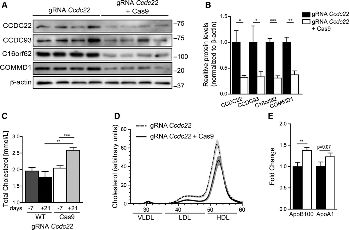 The COMMD Family Regulates Plasma LDL Levels and Attenuates