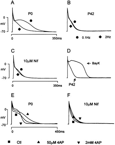 Ionic Remodeling Underlying Action Potential Changes in a