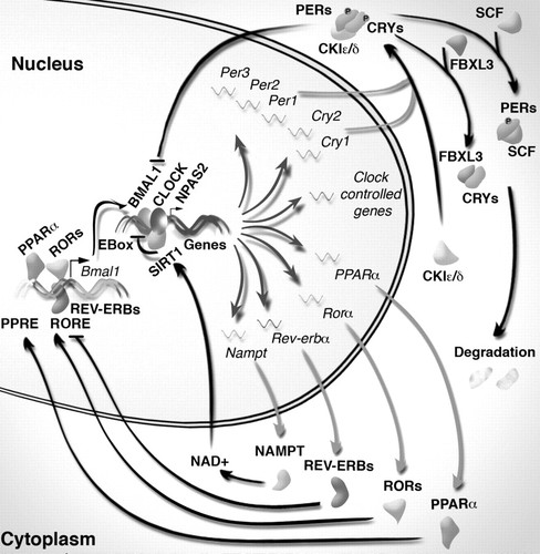 Circadian Rhythms and Metabolic Syndrome   Circulation Research