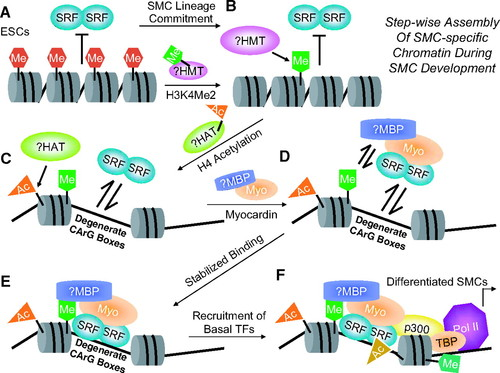 Programming Smooth Muscle Plasticity With Chromatin Dynamics