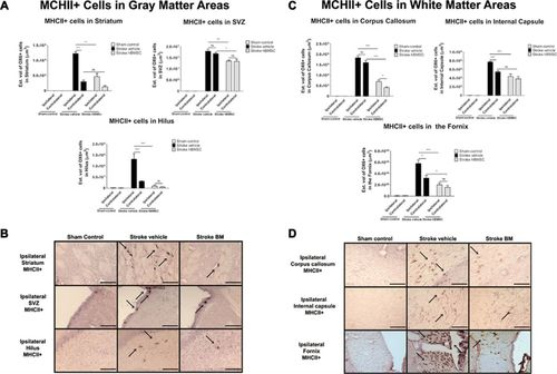 Intravenous Bone Marrow Stem Cell Grafts Preferentially