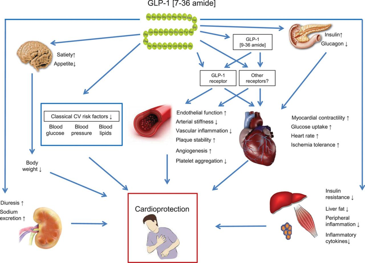 Cardiovascular Actions and Clinical Outcomes With Glucagon-Like