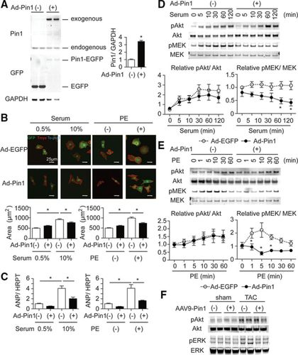 Regulation of Cardiac Hypertrophic Signaling by Prolyl Isomerase