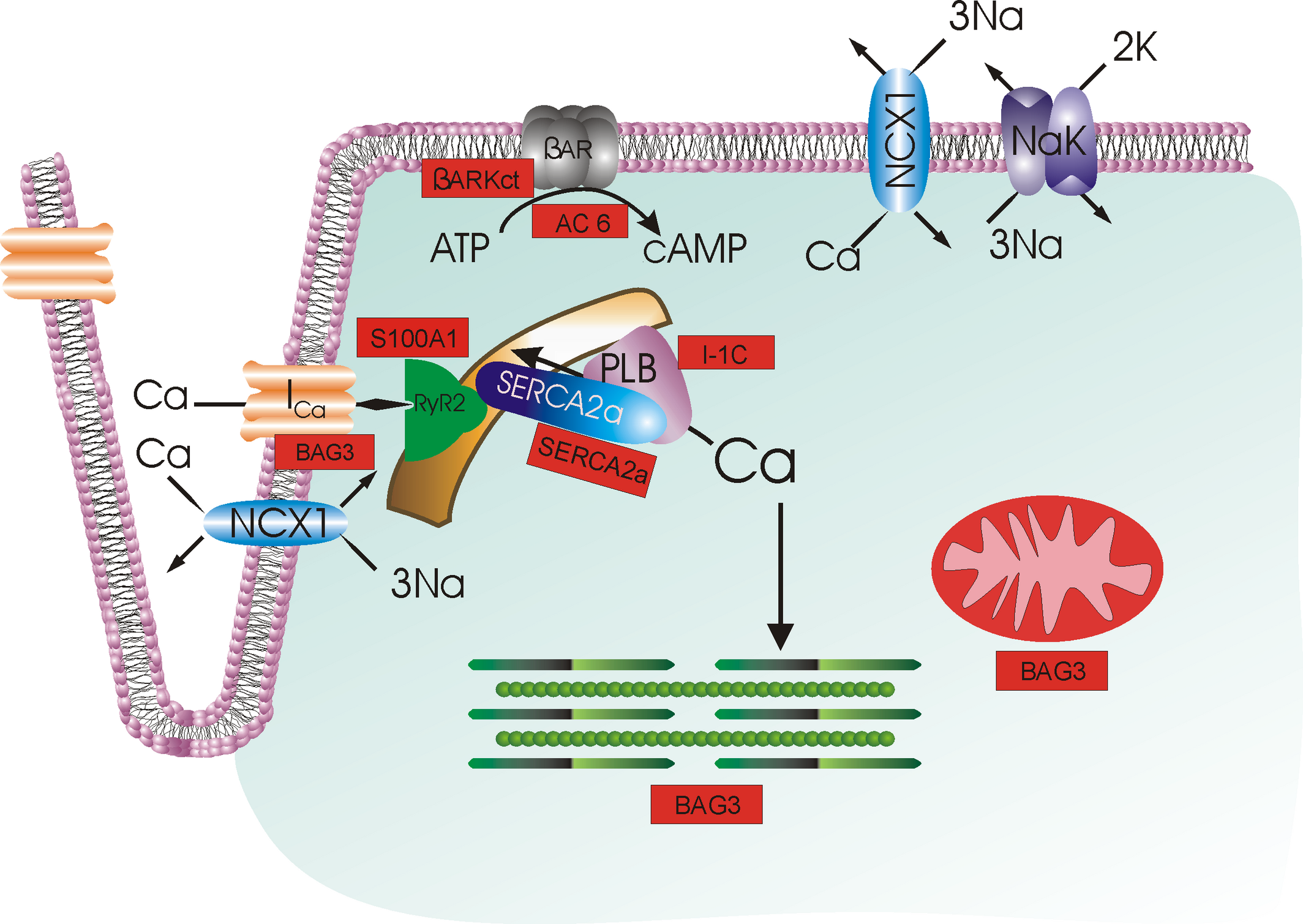 Current Landscape of Heart Failure Gene Therapy | Journal of