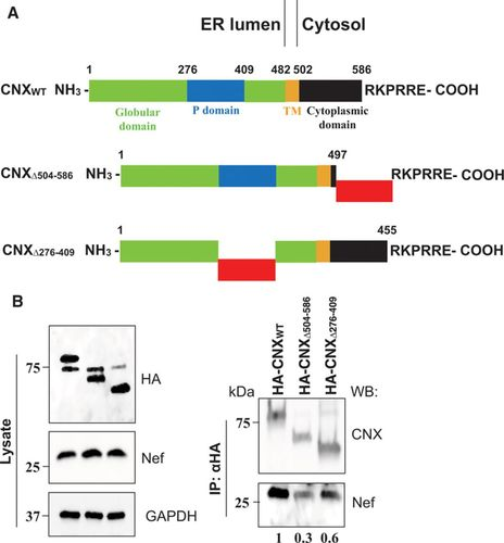 Interaction Between HIV-1 Nef and Calnexin