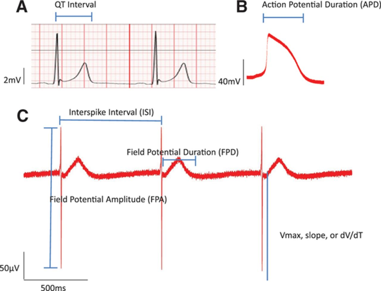 action potential duration in humans