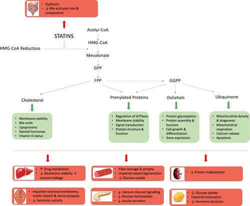 Statin Toxicity | Circulation Research