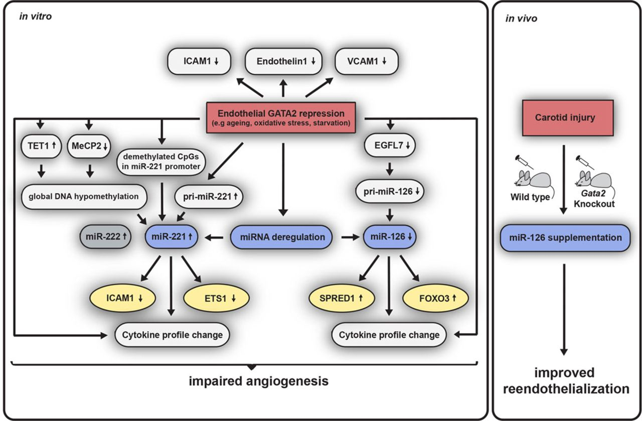 MicroRNA-Based Therapy of GATA2-Deficient Vascular Disease   Circulation