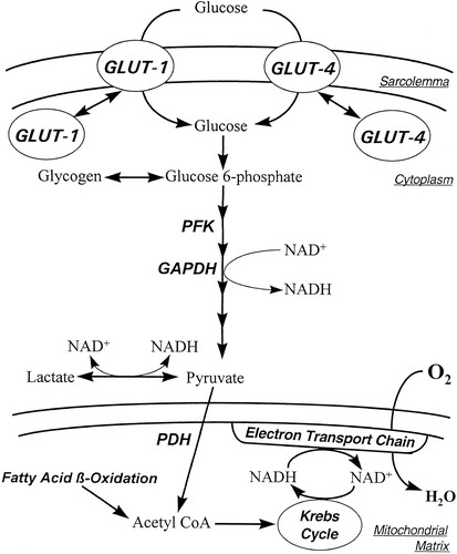 Glucose Metabolism In The Ischemic Heart