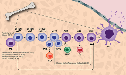 New Insights Into the Differentiation of Megakaryocytes From