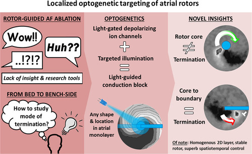 Localized Optogenetic Targeting of Rotors in Atrial