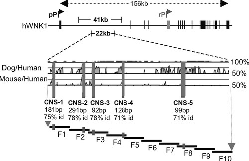 Deletion of WNK1 First Intron Results in Misregulation of Both