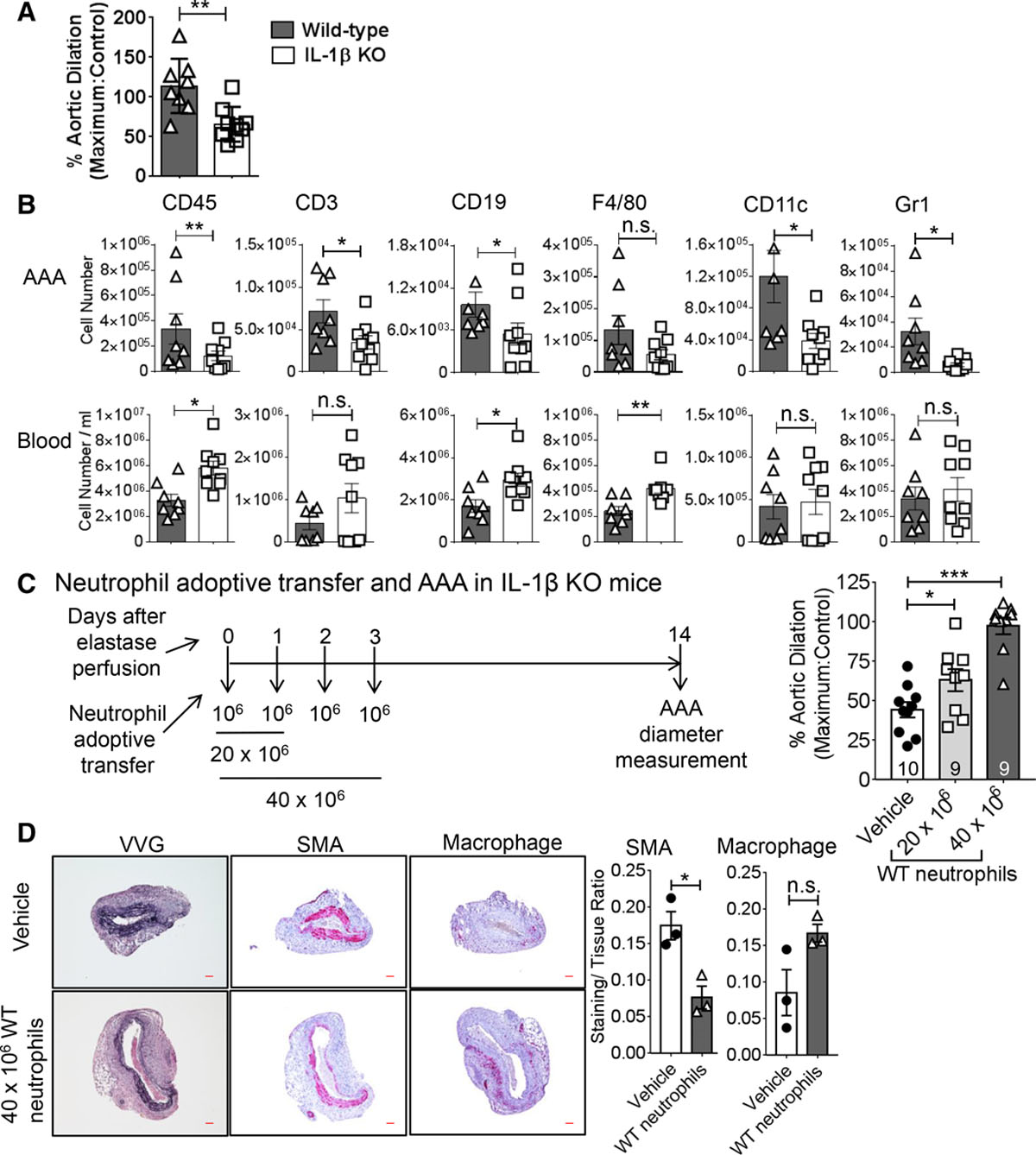 Novel Role of IL (Interleukin)-1β in Neutrophil