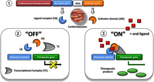 Heart Failure Gene Therapy   Circulation Research
