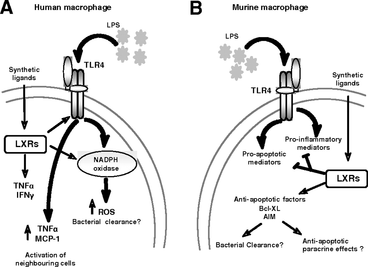 Regulation Of Macrophage Functions By Ppar α Ppar γ And