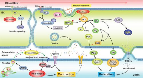 RhoA/Rho-Kinase in the Cardiovascular System | Circulation Research
