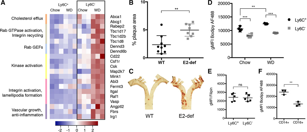 Scavenger Receptor CD36 Directs Nonclassical Monocyte