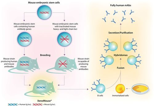 Evolution and Emergence of Therapeutic Monoclonal Antibodies