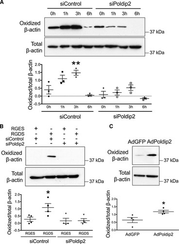 NOX4 (NADPH Oxidase 4) and Poldip2 (Polymerase δ-Interacting