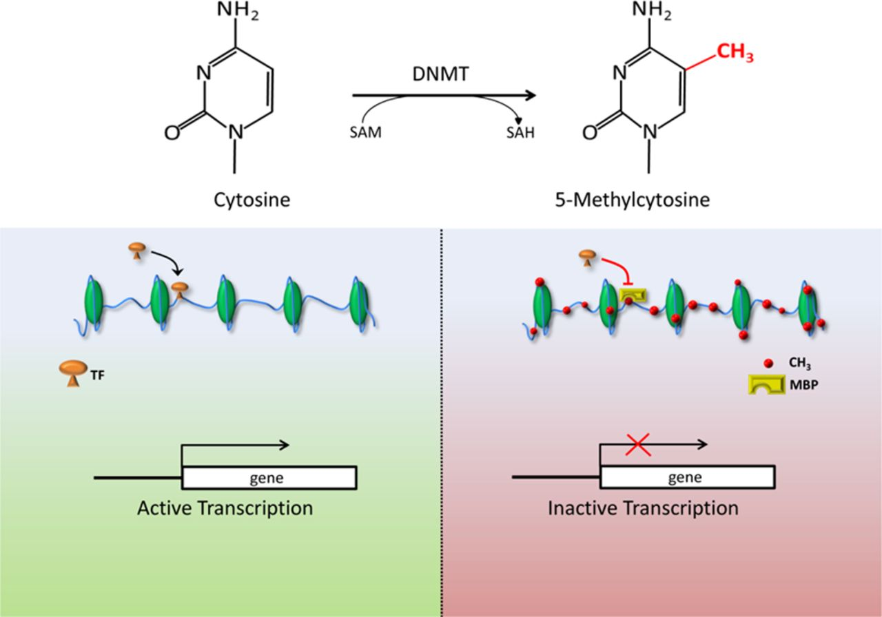 The Role of DNA Methylation in Cardiovascular Risk and