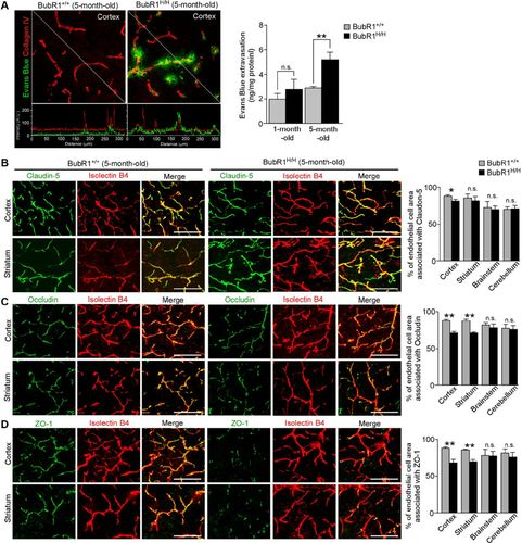 Vascular Cell Senescence Contributes to Blood–Brain Barrier