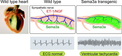 Development, Maturation, and Transdifferentiation of Cardiac