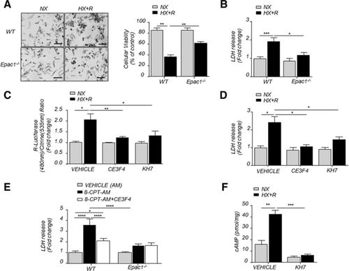 multifunctional mitochondrial epac1 controls myocardial cell death