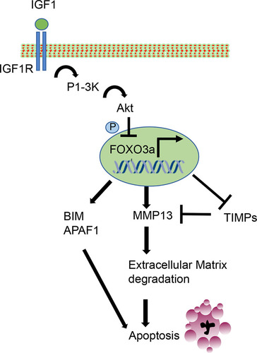 FOXO3a (Forkhead Transcription Factor O Subfamily Member 3a